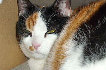 schildpatt katze charakter